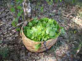 Майские березовые листья — эликсир жизненных сил и крепкого здоровья