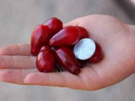 Семь ягод кизила спасут ноги от вздутия вен и отечности, если съедать их вместе с косточками!