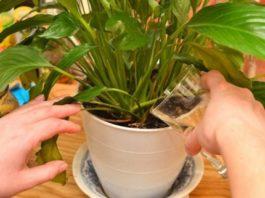 Простое средство которое сотворит чудо даже с самыми худыми растениями