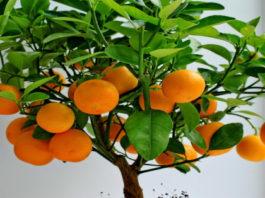 Как в домашних условиях вырастить цитрусовое дерево из обычной косточки? Пошаговая инструкция!