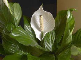 Комнатные растения, способны принести в дом удачу и сделать его обитателей богатыми и счастливыми